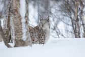 Рысь пробирается в зимнем лесу — Стоковое фото