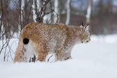 Lynx sneaks in the cold winter forest — Stock Photo