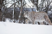 European lynx walking in the snow — Stock Photo