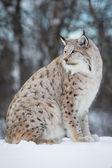 Рысь на снегу — Стоковое фото