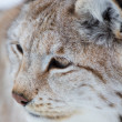 Close up of a lynx in the winter — Stock Photo