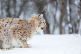European lynx eating — ストック写真