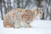 Lynx in a norwegian forest — Stock Photo