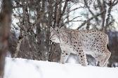 Lynx walking in the snow — Stock Photo