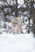 Европейская рысь, ходьбы на снегу — Стоковое фото