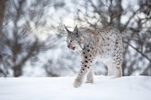 Lynx walks in the cold winter forest — Stock Photo