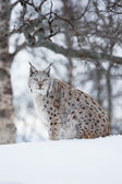 Luchs, sitzend im schnee eine kalte winter — Stockfoto