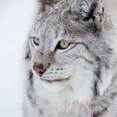 Close up of a lynx — Stock Photo