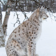 Lynx sitting under a tree in the snow — Stock Photo