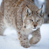 Close up of a lynx sneaking — Stock Photo