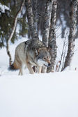 One Wolf sneaking in the forest — Stock Photo