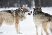 Angry wolves in winter forest — Stock Photo