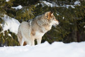 Wolf in the winter forest — Stock Photo