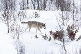 Wolf walking in winter landscape — Stock Photo
