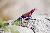 Colorful gecko in Serengeti — Stock Photo