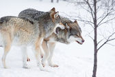 Angry wolves in cold snow — Stock Photo