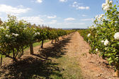 Vineyard in western australia — Stock Photo