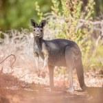 Kangaroo in the bush — Stock Photo #45028417