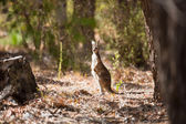 Observant kangaroo in the wild — Stok fotoğraf