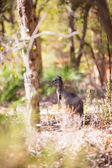 Kangaroo in western Australia — Stock Photo