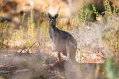 Kangaroo looking — Stockfoto