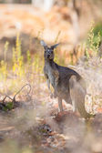 Kangaroo looking — Foto de Stock