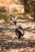 Stojący kangur — Zdjęcie stockowe
