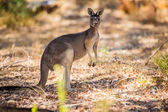 Standing kangaroo in the wild — Stockfoto
