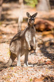 Standing kangaroo in the wild — Стоковое фото
