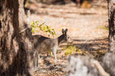 Scared kangaroo in the wild — Stockfoto