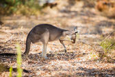 Eating kangaroo in the wild — Stockfoto