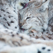 Two lynx cleaning fur in snow — Stock Photo #45760807
