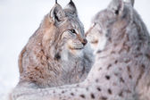 Two lynx rests in the snow — Stock Photo