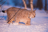 Llynx in the winter sunset — Stock Photo
