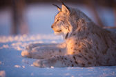 Lynx rests in the sunset — Stock Photo
