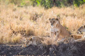 Lioness with her cubs — Stockfoto
