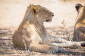 Junger löwe männchen ruht in serengeti — Stockfoto