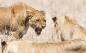 Angry wild lion in Africa — Stock Photo