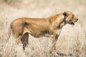 Wild lion looking after prey in Serengeti — Stock fotografie