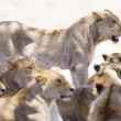 Постер, плакат: Pride of lions rests at the african savannah