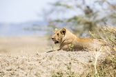 African male lion in Serengeti — Photo