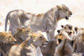 Pride of lions rests at the african savannah — Stockfoto