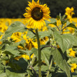 Sunflower — Stock Photo #28670069