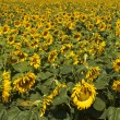 Sunflower field — Stock Photo #29429903