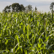 Green corn field in spring time — Stock Photo #29593191