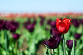Single red tulip in field of violet — Stock Photo