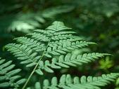 Wood fern, Dryopteris sp. — Stock Photo