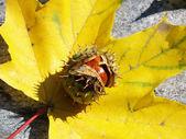Castanhas e folhas de outono — Foto Stock
