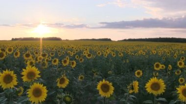 Field with sunflowers at sunset. — Stock Video