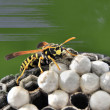 Supervising nest wasp — Stock Photo